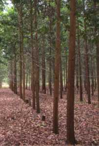 AKASIA (Acacia mangium)
