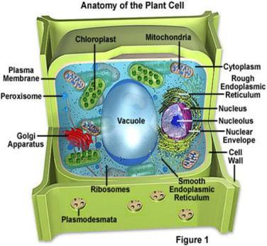 Struktur Sel Tumbuhan Dan Fungsinya Informasi Tanaman Kehutanan